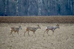 2021-03-14-affut-formation-faune-chevreuil-01