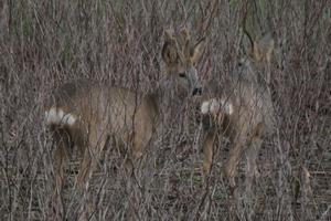 2021-03-14-affut-formation-faune-chevreuil-03